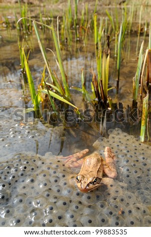 Agile frog (Rana dalmatina) on eggs and its environment - stock photo