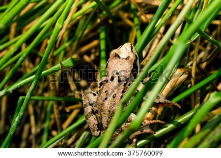 Agile frog  (Rana dalmatina) sits in the tall grass - stock photo