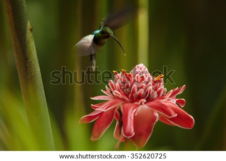 Agile longtail wild green hummingbird Green Hermit Phaethornis guy hovering over Red Torch Ginger Flower. Dark green blurry plants in background. Wild bird in the forest. Nice bokeh. - stock photo