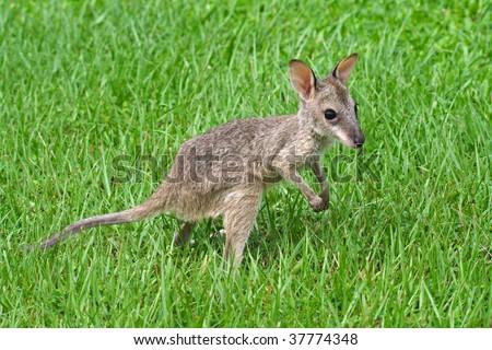 Agile wallaby joey, Kakadu National Park, Australia - stock photo