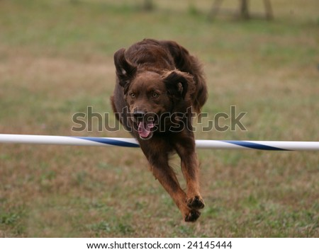 Agility Dog Clearing a Jump - stock photo