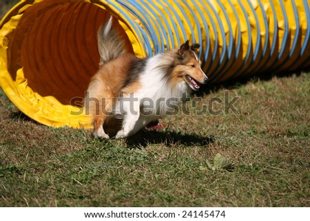 Agility Dog Exiting a Tunnel - stock photo