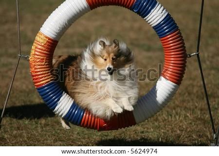 Agility Dog -- Hoop - stock photo