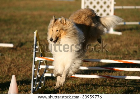 Agility dog Jumping Bar in Competition - stock photo