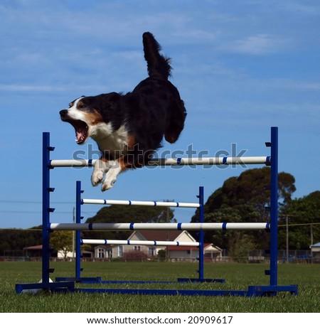 Agility Dog Over a jump - stock photo