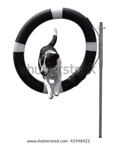 Agility Dog through Hoop isolated with clipping path - stock photo