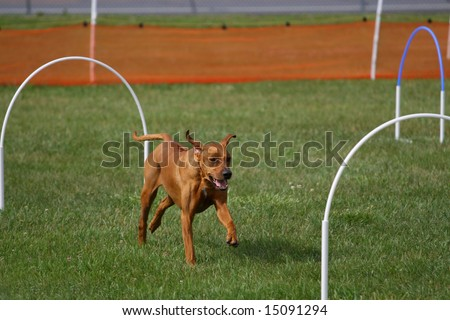 Agility Dog Working the Hoop Course - stock photo