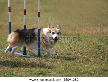 Agility Dog working through the Weave - stock photo