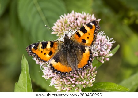 Aglais urticae, Nymphalis urticae, Small Tortoiseshell on Hemp-agrimony, Eupatorium cannabinum, Lower Saxony, Germany - stock photo