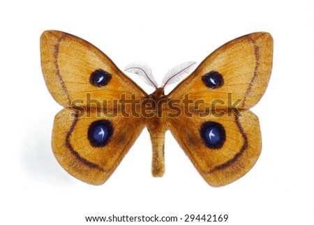 Aglia tau (male) - stock photo
