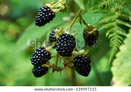 agrestic blackberries growing on the bush in forest - stock photo