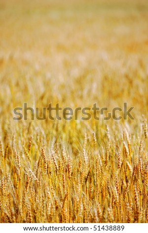 Agricultural background image of a large field of maturing Winter Wheat in the state of Colorado, USA (front focus - shallow depth of field). - stock photo