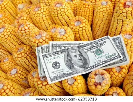 Agricultural concept, closeup of dollar banknote at corn - stock photo