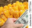 Agricultural concept, closeup of dollar banknote in hand and corn in background - stock photo