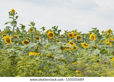 Agricultural crop of sunflowers growing in Poland. - stock photo