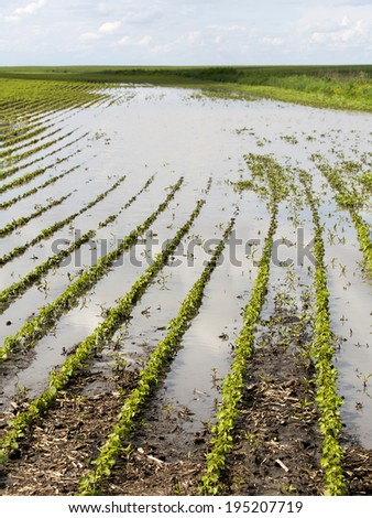 Agricultural disaster, field of flooded soybean crops. - stock photo