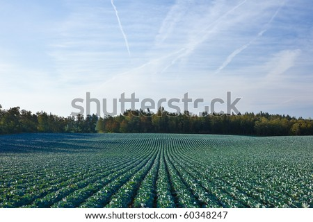 Agricultural field.  Green organic agricultural field growing lettuce. - stock photo