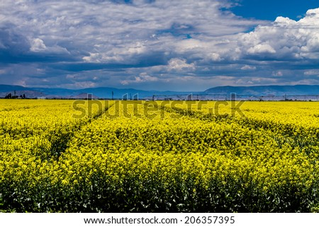 Agricultural field of blooming yellow canola seed on sunny summer day - stock photo