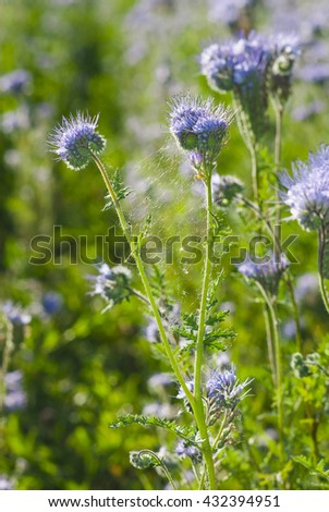 agricultural field of phacelia flowers