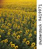 Agricultural field of sunflowers. - stock photo