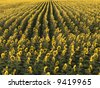 Agricultural field of sunflowers planted in rows. - stock photo