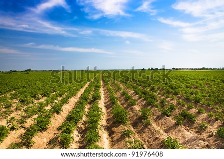 Agricultural field on which grow up a potato