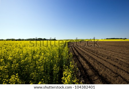 agricultural field on which grow up a rape and potatoes - stock photo