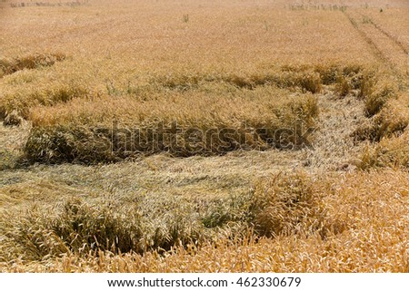 agricultural field where after a storm is on the ground ripe yellow wheat