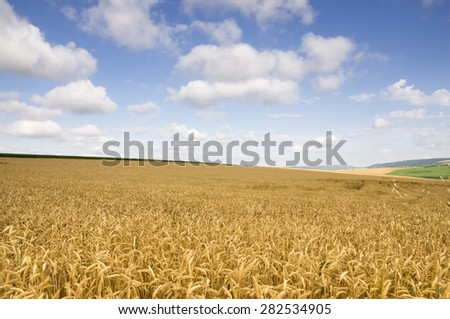 Agricultural field with wheat and blue dynamic sky as background - stock photo