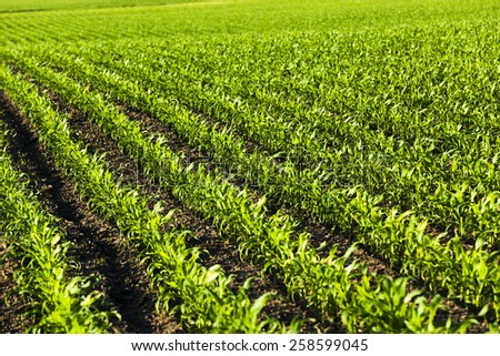 Agricultural field with young sprouts of corn. - stock photo