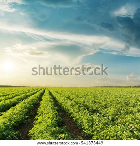 agricultural green tomatoes field and sunset in clouds over it