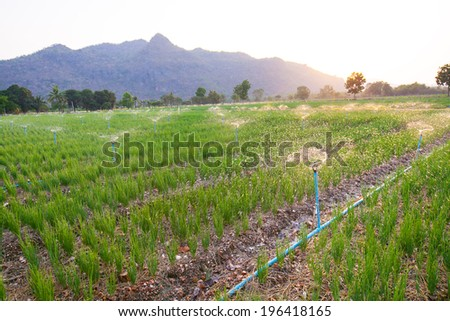 Agricultural irrigation of onion field at sunset Thailand - stock photo