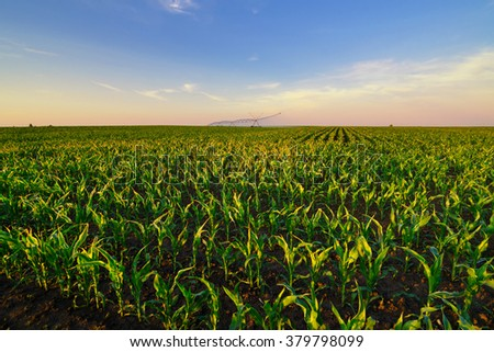 Agricultural irrigation system watering corn field on sunny summer day. - stock photo