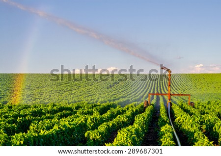 Agricultural irrigation system watering field of paprika on sunny summer day. - stock photo
