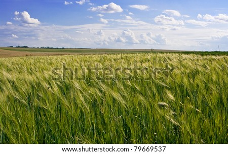 Agricultural landscape of wheat corn field on small scale sustainable farm - stock photo