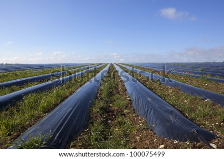 agricultural landscape with weeds growing between rows of protective polythene mulch under a blue springtime sky - stock photo