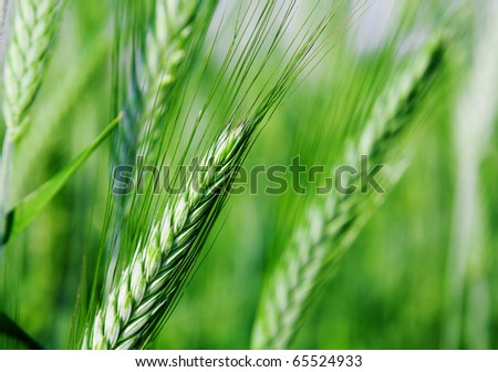 Agricultural plants - stock photo
