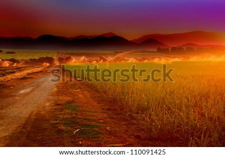 agricultural sugarcane fields under irrigation - stock photo