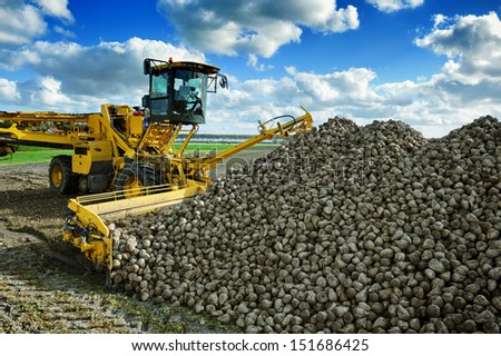 Agricultural vehicle harvesting sugar beets at sunny autumn day - stock photo
