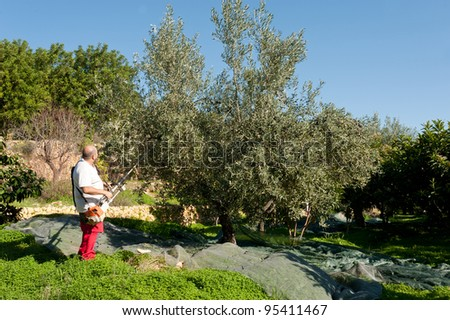 Agricultural worker at olive harvest, using a shaker tool