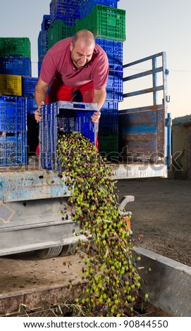 Agricultural worker unloading olives ready to be ground into oil