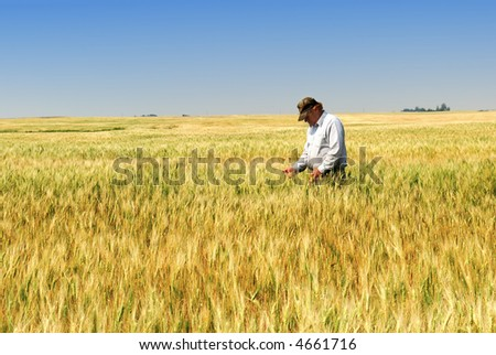 Agriculture:  a prairie farmer inspects durum wheat field approaching maturity. - stock photo