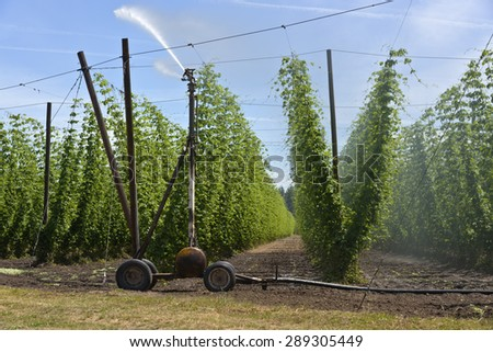 Agriculture and farming hops in the Willamette valley Oregon. - stock photo