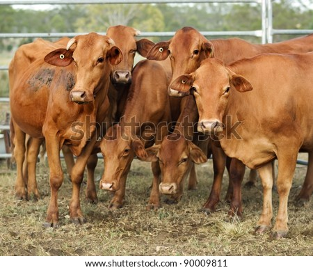 agriculture australia six brown cows in corral on cattle ranch pose for camera - stock photo