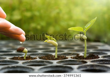 Agriculture , Baby plants seeding - Farmer hand watering young baby bean plants seedling on black planting tray with green background