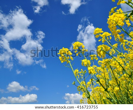 Agriculture canola flowers oilseed field - stock photo