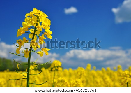 Agriculture canola rape field background