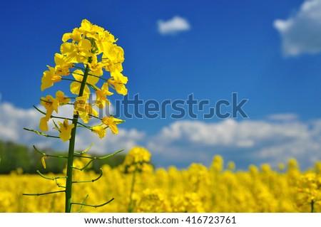 Agriculture canola rape field background - stock photo