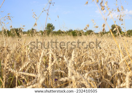 agriculture cornfield with blue cloudy sky in summer - stock photo