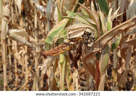 Agriculture,  damaged corn plant in field, harvest time - stock photo